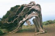 Die Sabina: windgebeugter Wacholderbaum