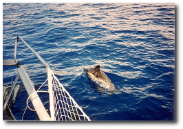 Delphine entlang der Südost-Küste Teneriffas.