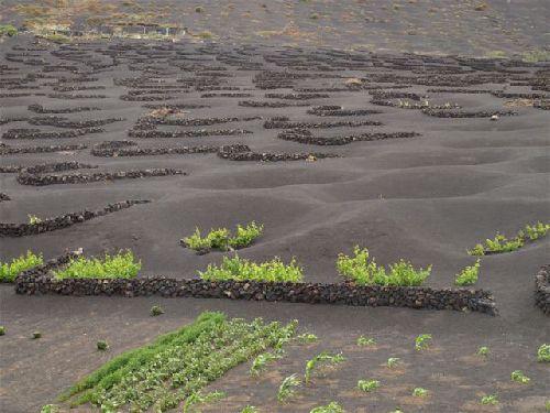 Weinanbau auf Lanzarote in La Geria