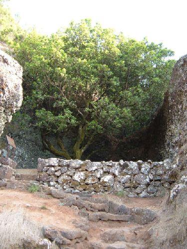 El Garoe auf El Hierro