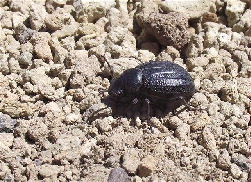 Der Teidekäfer - eine endemische Insektenart auf Teneriffa