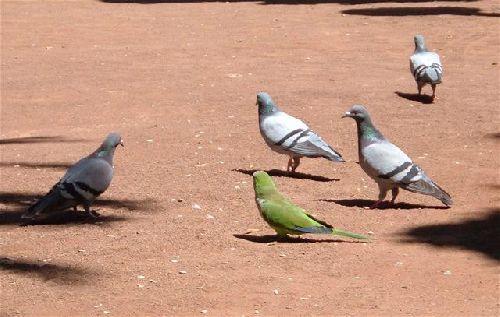 Tauben auf den Kanaren
