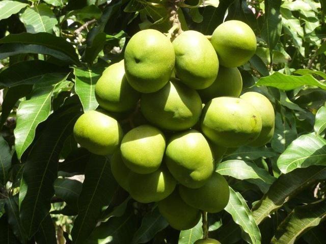 Grüne Mangos am Baum