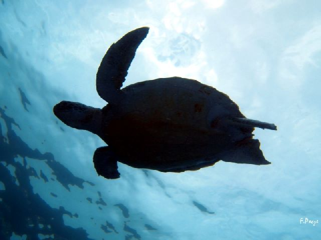 Wasserschildkröte auf Teneriffa - Bild von ecological-divers.com in Puertito de Güimar