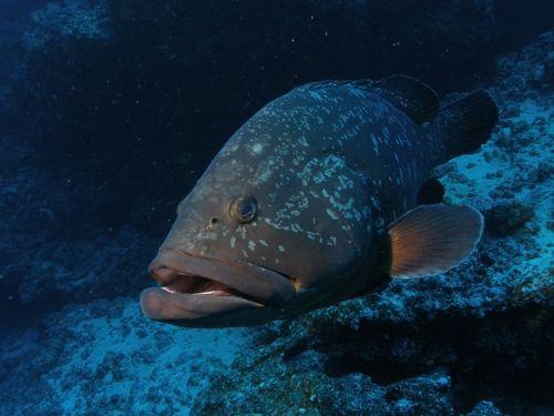 Teneriffa Tauchen blauer Fisch