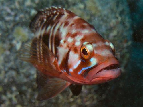 Teneriffa Tauchen roter Fisch