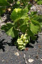 Weintraube aus dem Weinanbaugebiet La Geria auf Lanzarote