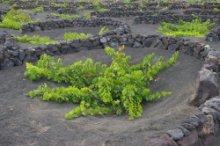 Weinanbau in La Geria auf Lanzarote